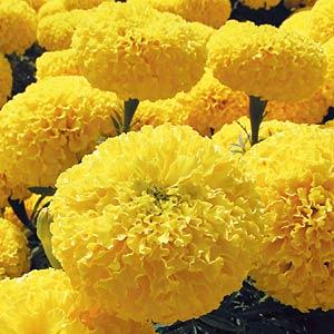 marigold african garden joy yellow - Garden Joy
